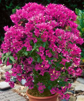 Bougainvillea Patio Plants