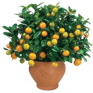 Citrus Tree - Calamondin Orange