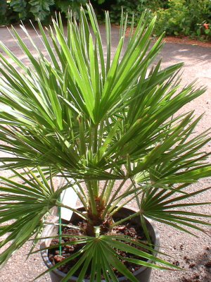 Hardy Fan Palm